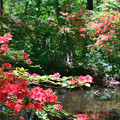 Photos: 小池のヤマツツジ