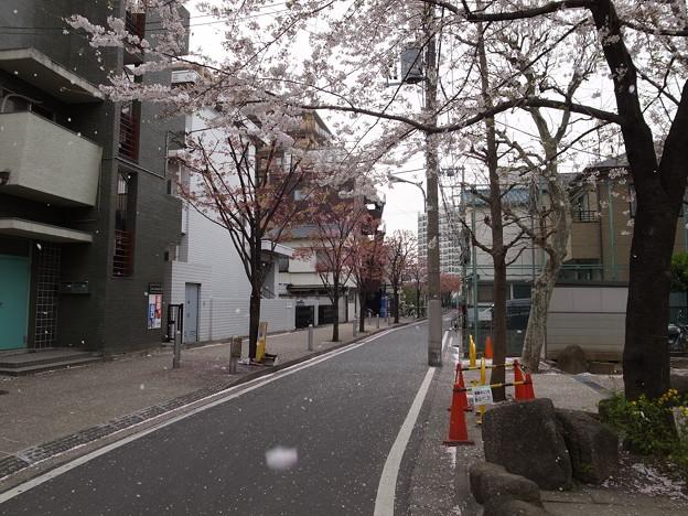 桜、舞い散る