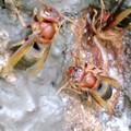 Photos: チャイロスズメバチの働き蜂(スズメバチ科) {8月10日}