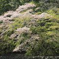 Photos: 伊勢神宮 五十鈴川の桜 IMG_6221_2