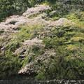 伊勢神宮 五十鈴川の桜 IMG_6221_2