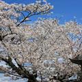 神明神社の桜 IMG_0045_2