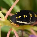 Photos: セスジスズメ幼虫-顔
