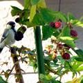 Photos: シジュウガラ とブラックベリー