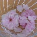 Photos: 水浮かぶ八重桜