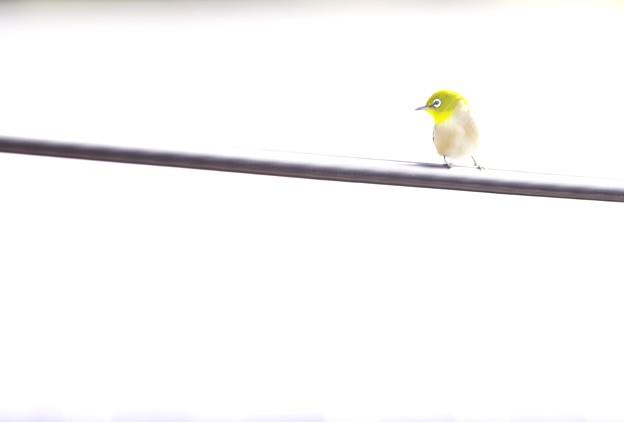 カワイコブリッコメジロッコ。