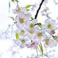 Photos: 冬の桜。
