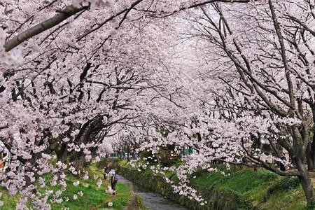 想いの桜。