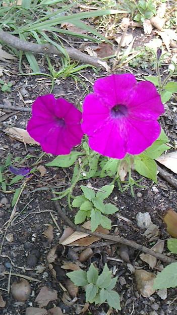 見つけた綺麗な草花 ペチュニア