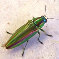 Photos: 玉虫 jewel beetle