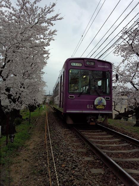 嵐電、桜のトンネルは満開だぁ~