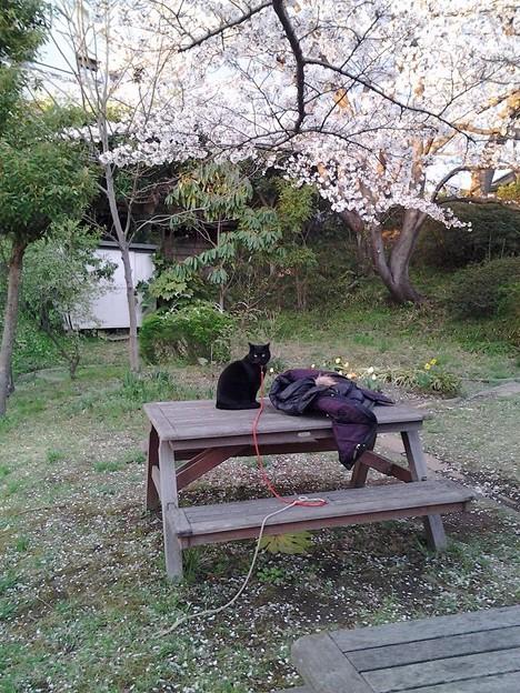写真: 桜と猫