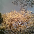 写真: 桜6