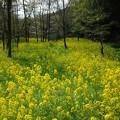 写真: 湿原と菜の花