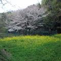 写真: 菜の花と桜