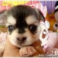 チワワ・かのんちゃん子犬8.31