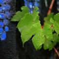 青い葡萄の実も