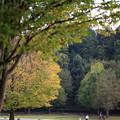 桂の木の黄葉