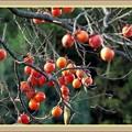 Photos: 柿が赤く熟して