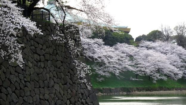 牛が淵の桜景色?