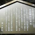 Photos: 011自害峯・三本杉