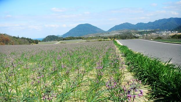 065らっきょう畑 (2)