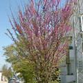 Photos: ピンクな街路樹