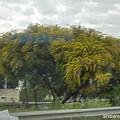 Photos: 街路樹がミモザ