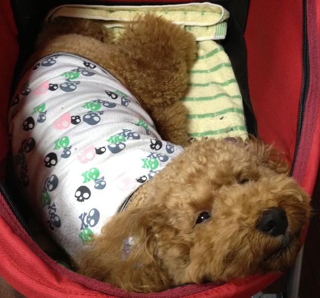 犬若ちゃんってファルコンに似てる?
