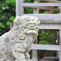 Photos: 2013-08-14 狛犬