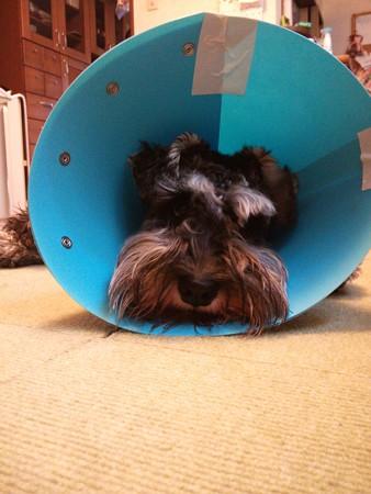 去勢手術後エリザベスカラーのカイル