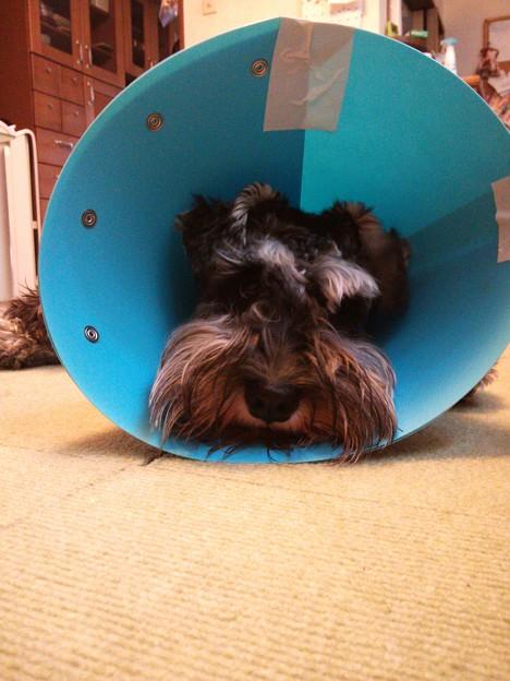 写真: 去勢手術後エリザベスカラーのカイル