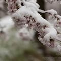 Photos: 桜に積もる雪