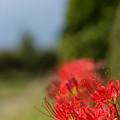 写真: 畔の彼岸花