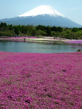 富士芝桜12