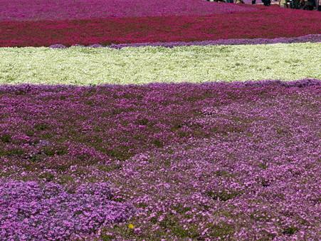 富士芝桜15
