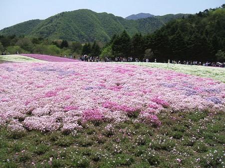 富士芝桜17