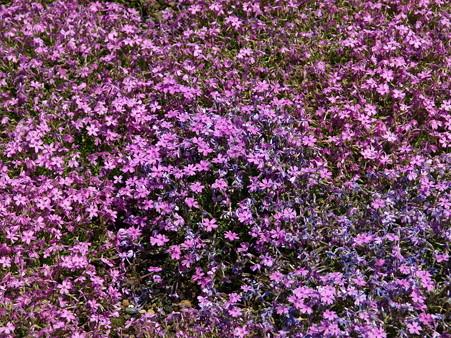 富士芝桜28