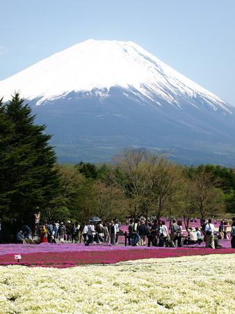 富士芝桜32