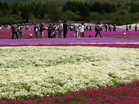富士芝桜40