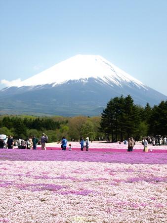 富士芝桜45