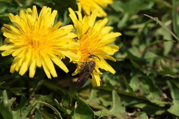 タンポポと働き蜂