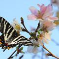 Photos: チラシ用ギフチョウ(桜)