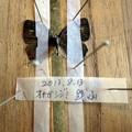 オナガシジミ展翅