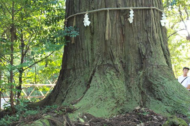 大地に根ずく大杉