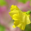 Photos: 菜の花色~♪