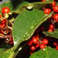 Photos: 赤い真珠