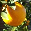 Photos: ネーブルオレンジ