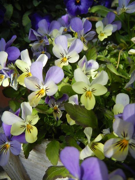 白の花車の寄せ植え