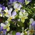 Photos: 白の花車の寄せ植え